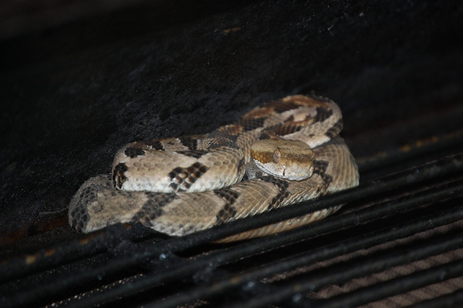 The+young+rattlesnake+found+curled+up+on+the+warming+shelf+of+Rand+and+Marci+Ziegler%27s+outdoor+grill.