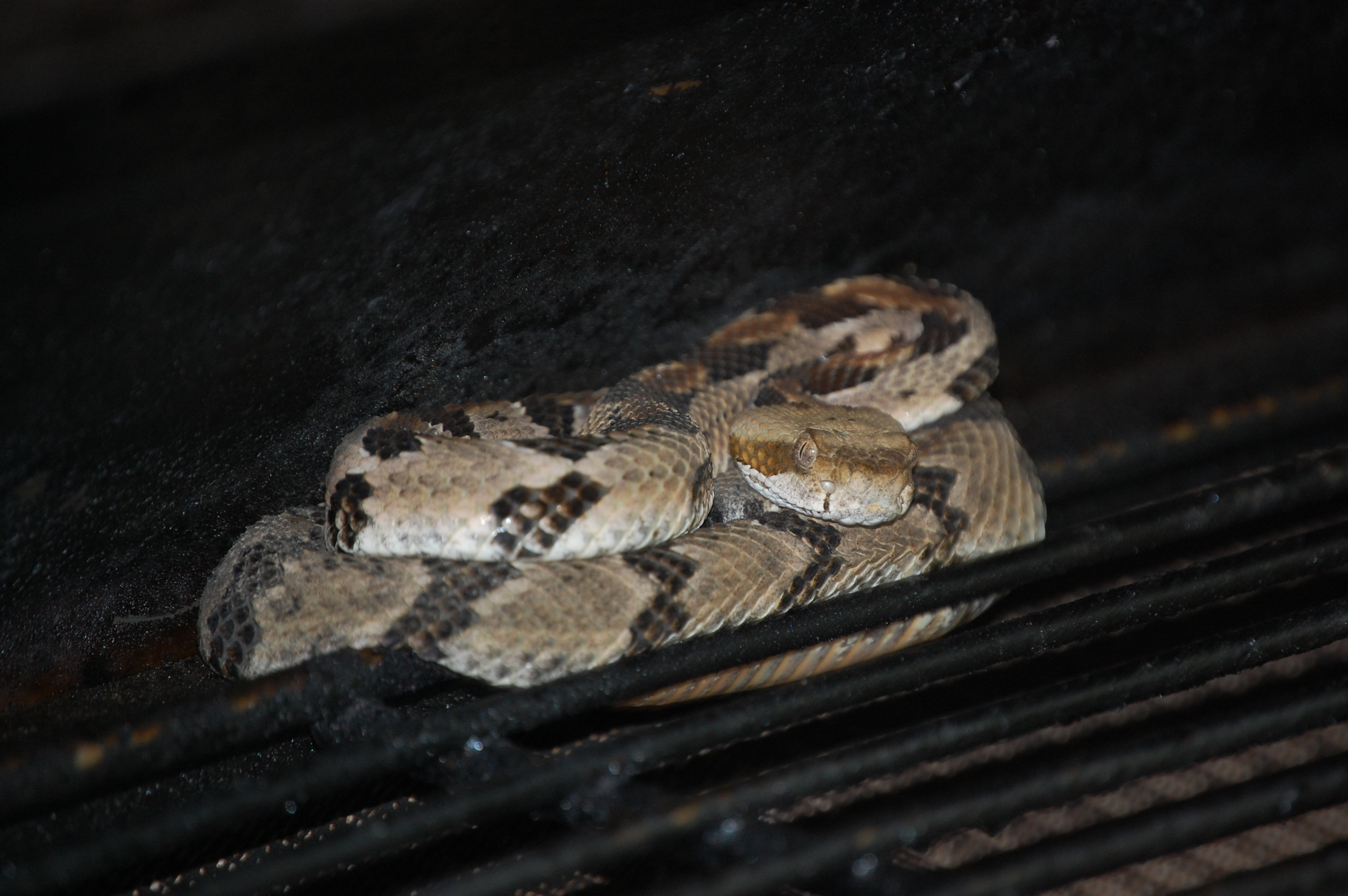 The young rattlesnake found curled up on the warming shelf of Rand and Marci Ziegler's outdoor grill.