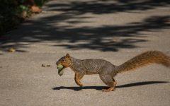 Campus course studies Baker squirrels