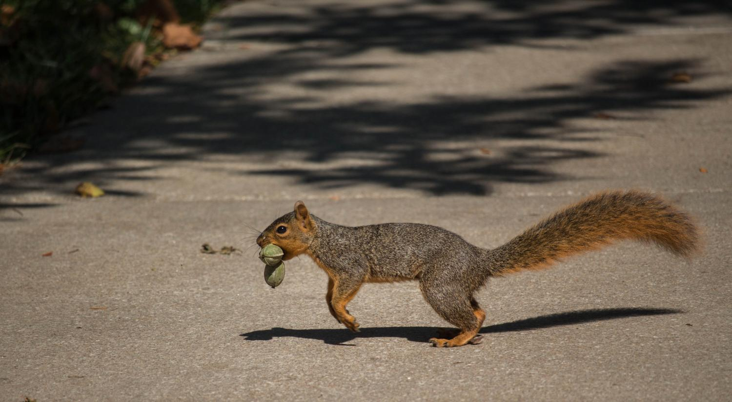 A squirrel scampers across campus with its treasures. Several squirrels populate campus and can always be seen when walking to class. They've been named the Baker Squirrels and even have their own Twitter account.