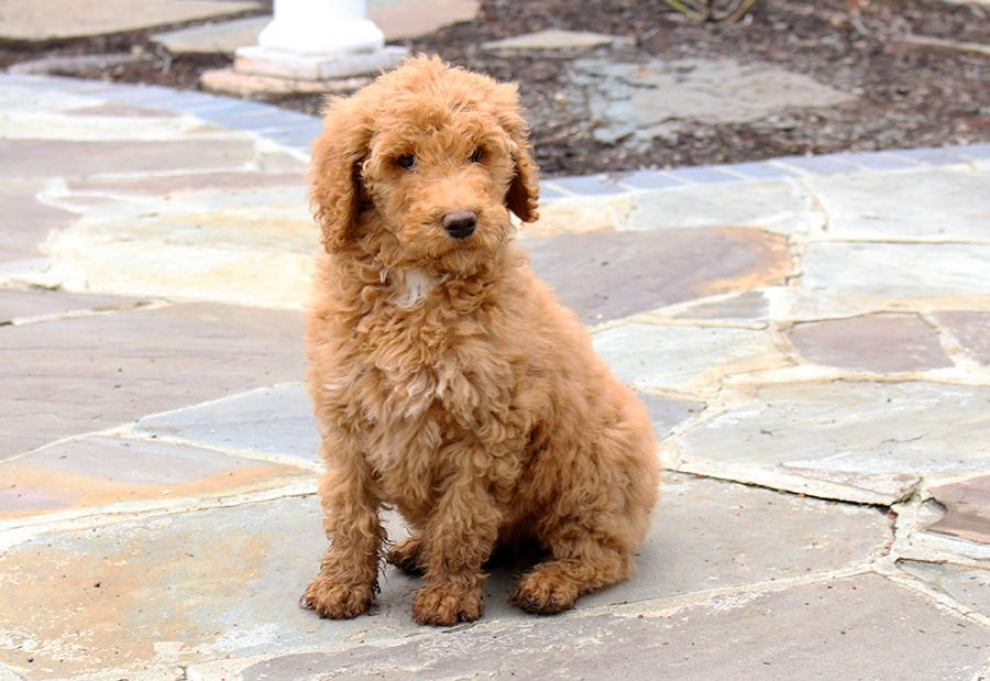 President Lynne Murray and her husband Jeff recently brought home a new puppy named Winston. He is 12 weeks old and was born in Sugar Creek, Ohio. The Murray family decided to get a new puppy after the passing of their poodle, Lucca. Winston now joins the Murrays other poodle, Kassie.